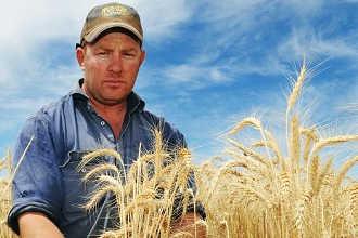 Фермер смотрит на урожай пшеницы