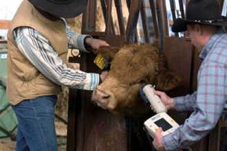 Зоотехники занимаются с бычком